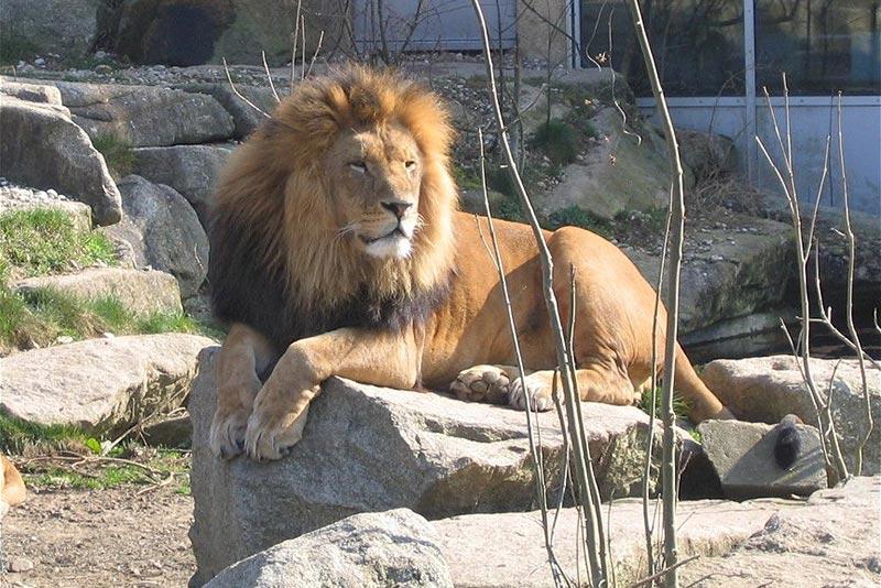 Tierpark_Hellabrunn_Muenchen_Loewe